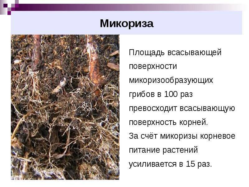 Что такое микориза (грибокорень), ее роль в питании растений