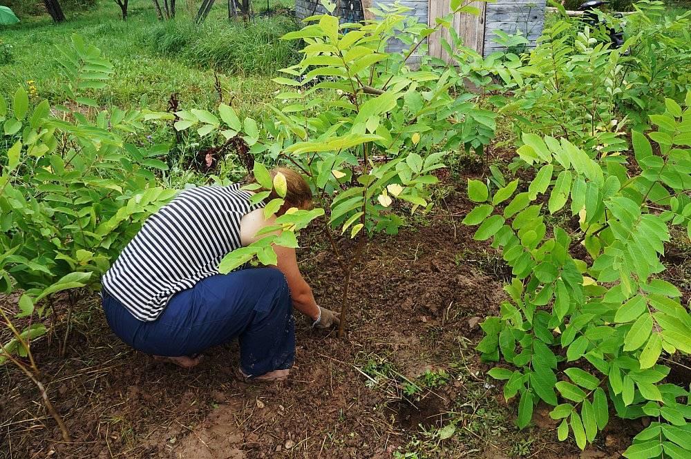 Посадка, уход и выращивание маньчжурского ореха