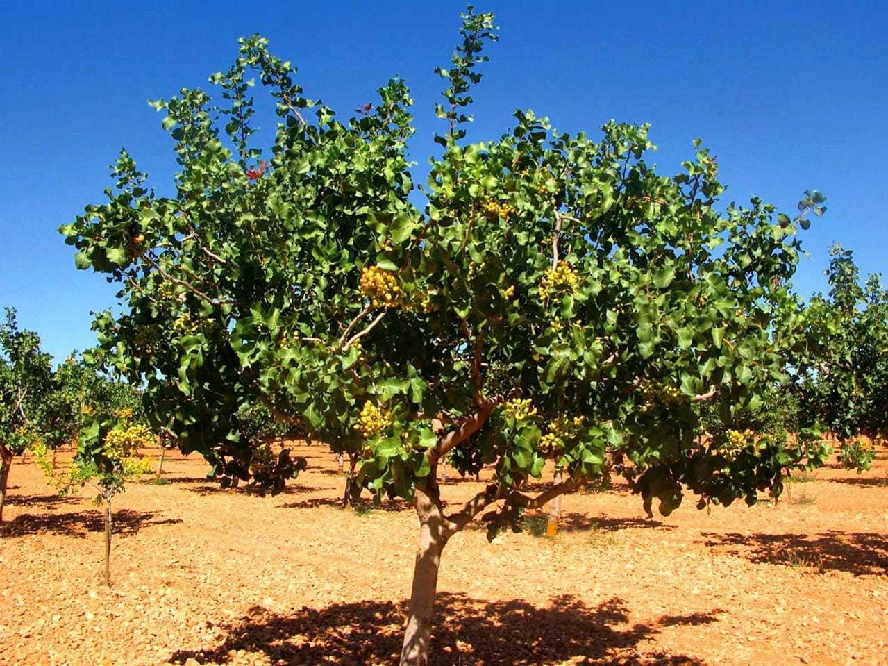 Как вырастить фисташковое дерево в домашних условиях