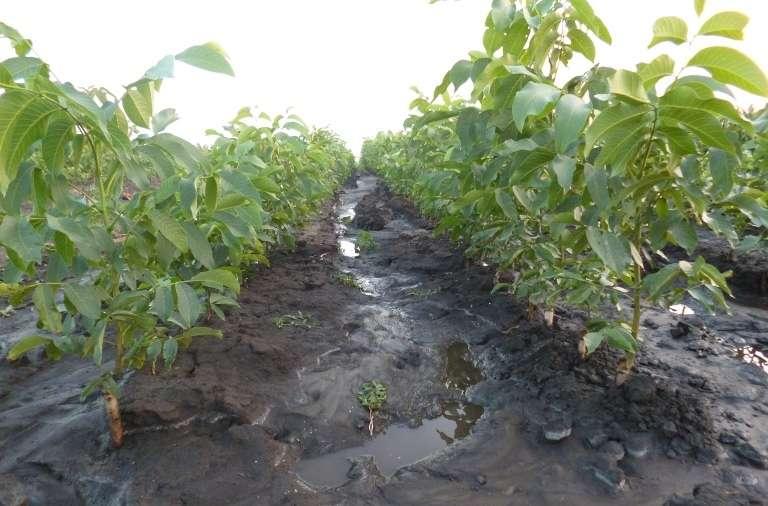 Выращивание грецкого ореха - посадка и уход с упором на скороплодность | сайт о саде, даче и комнатных растениях.