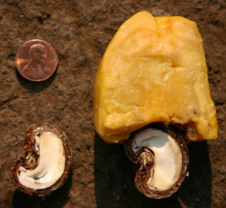 Кешью: как растёт орех и выращивание дома
