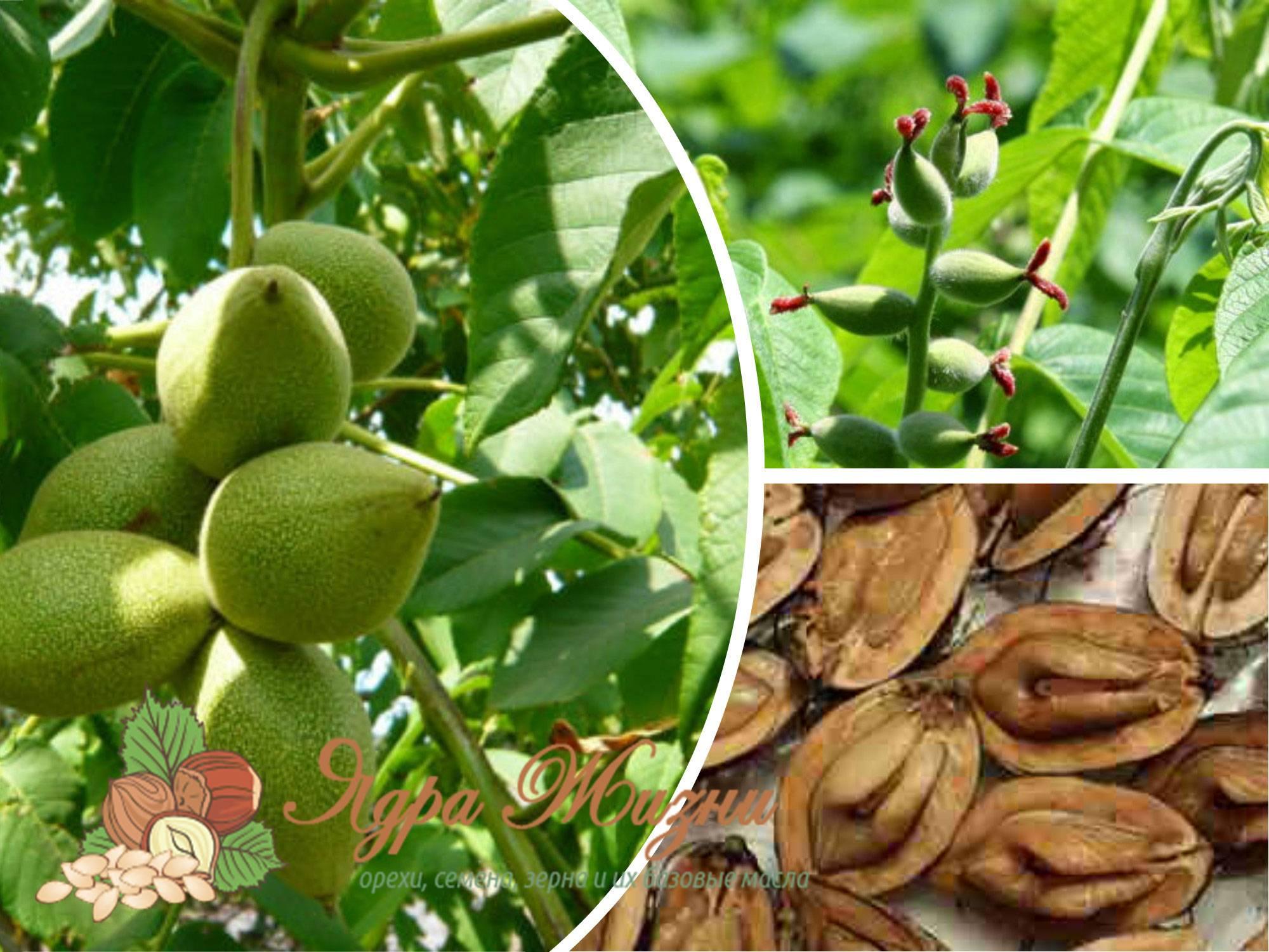Маньчжурский орех: полезные свойства ипротивопоказания, применение внародной медицине, рецепт настойки + отзывы (дальневосточный орех)