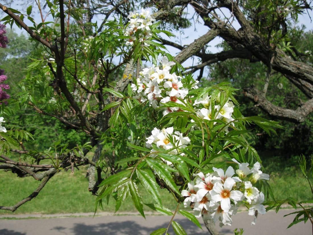 Чекалкин орех: выращивание из семян, уход, особенности и отзывы