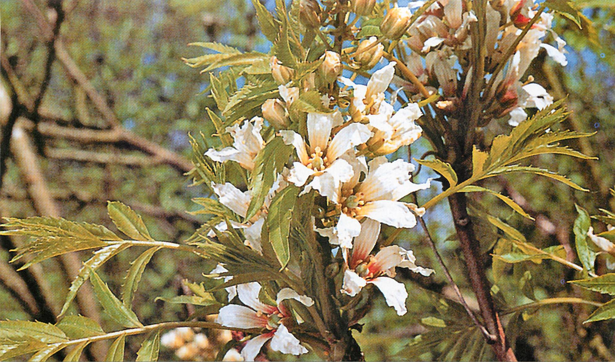 Чекалкин орех – китайское чудо | огородники