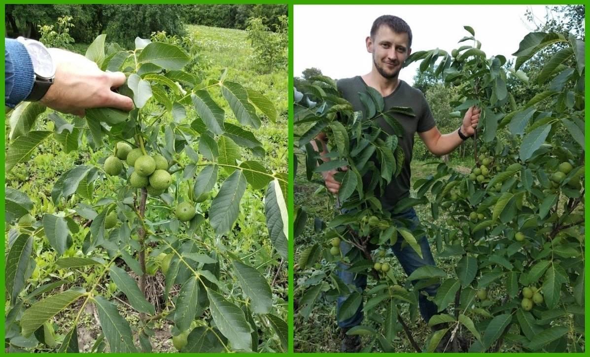 Грецкий орех идеал: высота дерева, описание, характеристика сорта, урожайность, посадка, выращивание, обрезка, уход, и как правильно вырастить из привитого саженца?