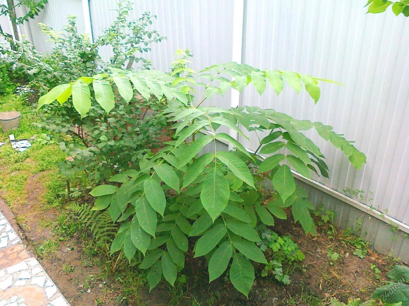 Посадка и выращивание маньчжурского из семян и саженцев