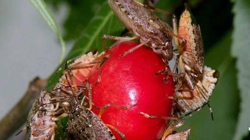 Мраморный клоп – враг сельского хозяйства, методы борьбы