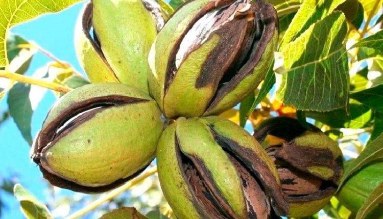 Как растут кедровые орехи и где их найти в россии и в мире: на каких деревьях собирают съедобные орешки, и каким образом их добывают?