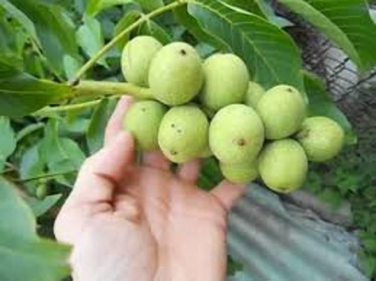 Карликовые сорта грецкого ореха: для каких регионов подходят, и высота, урожайность и другие характеристики деревьев, описание самых популярных низкорослых видов