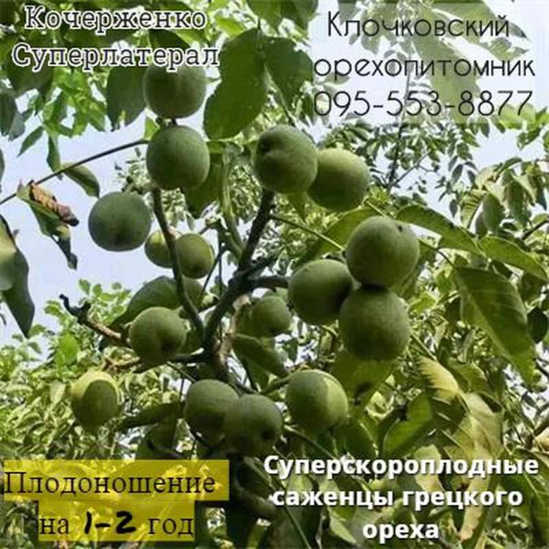 Латеральное плодоношение в селекции ореха грецкого