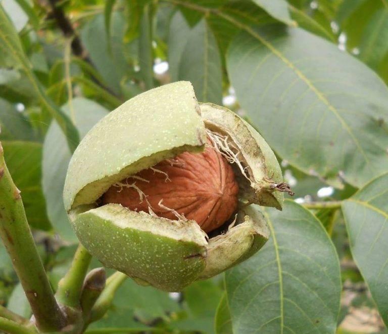 ᐉ как заставить грецкий орех плодоносить - godacha.ru