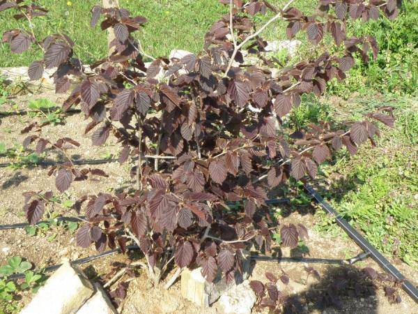 Описание и характеристики 30 лучших сортов фундука, выращивание