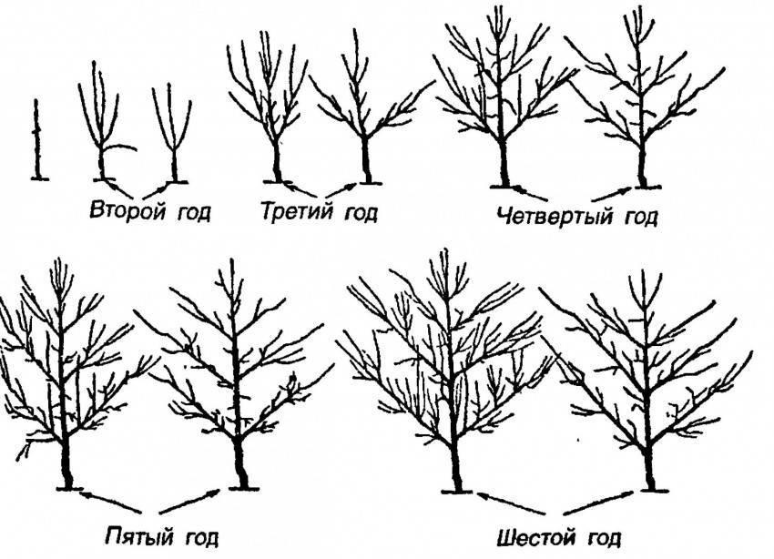 Как правильно осенью обрезать лещину и способы формирования кроны, схема - всё про сады