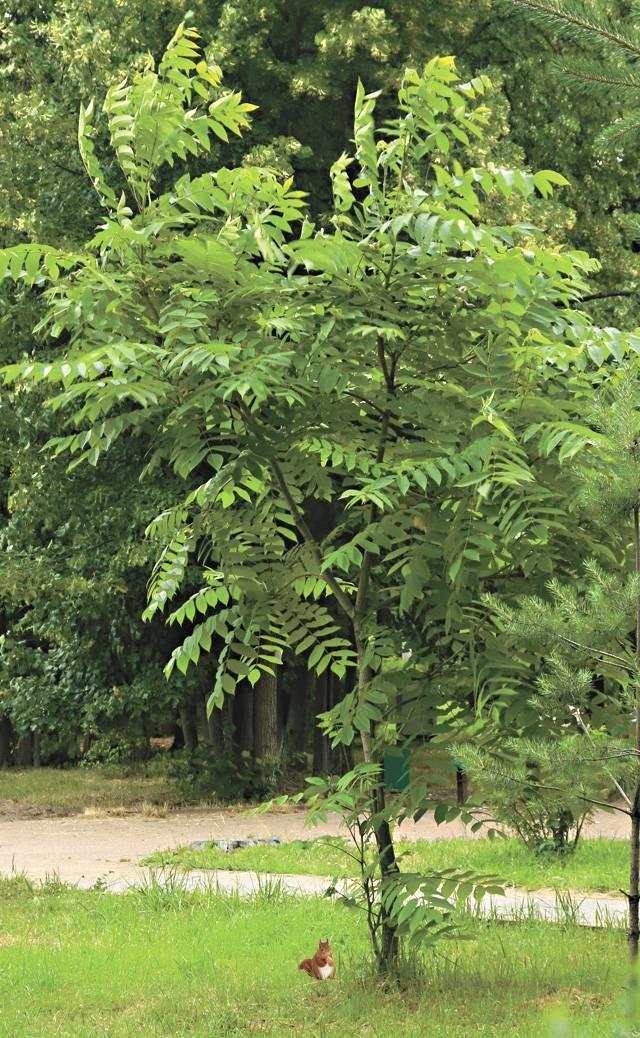 Орех маньчжурский -посадка и уход, выращивание в саду