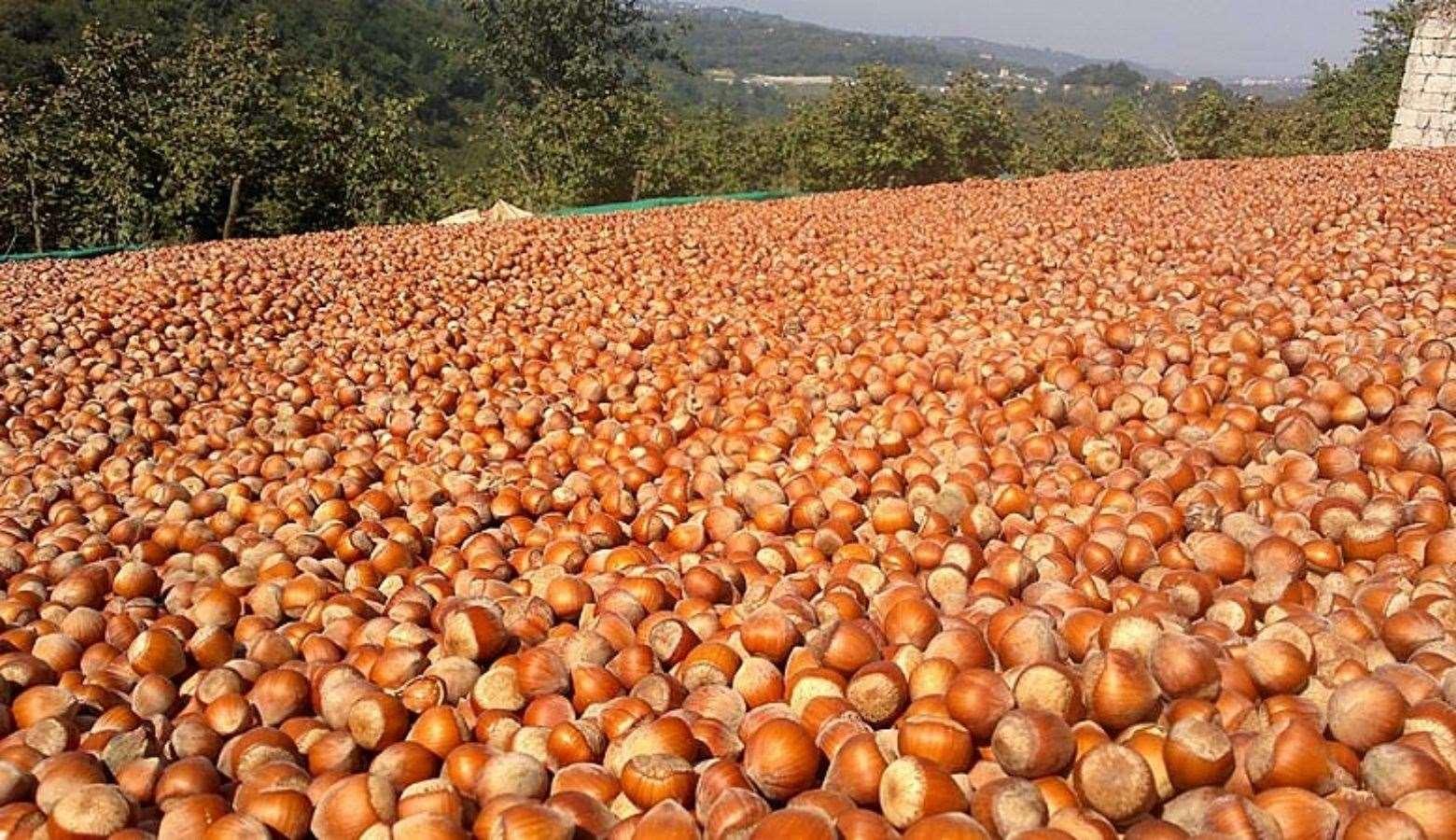 В грузии ожидают рекордный урожай фундука