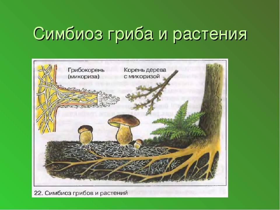 Микориза и ее роль в жизнедеятельности растений