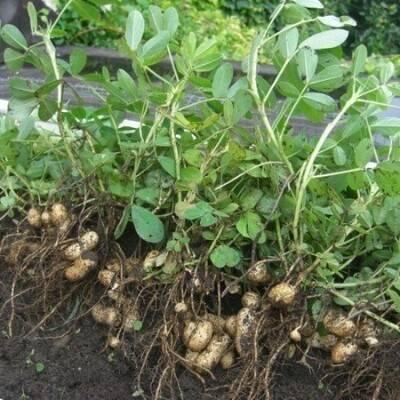 Арахис: выращивание в открытом грунте, как вырастить в украине и россии