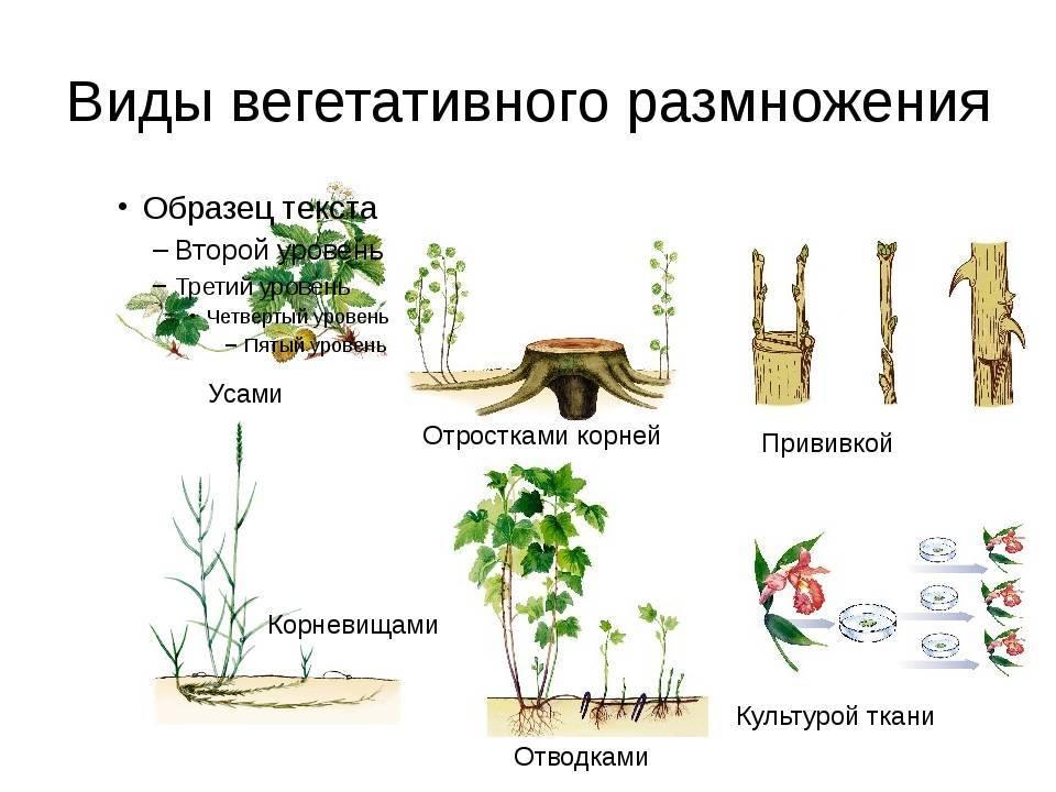 Вегетативное размножение видов Corylus L