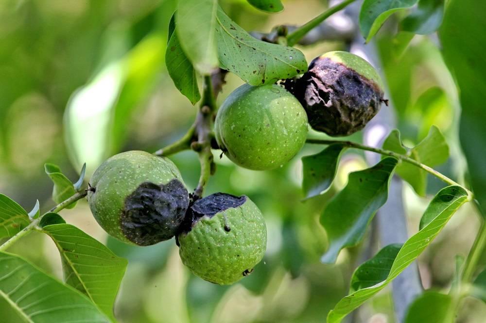 Как растет грецкий орех: фото, сроки и особенности плодоношения