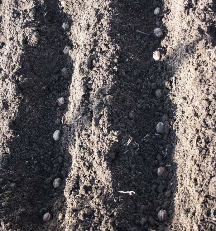 Посадка грецкого ореха осенью саженцем: от выбора до ухода