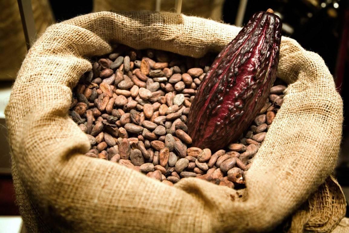 Польза и вред какао-бобов для здоровья, чем полезны плоды для здоровья