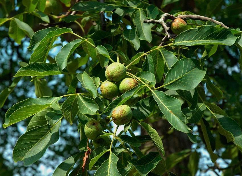 Описание дерева грецкого ореха, выращивание и уход