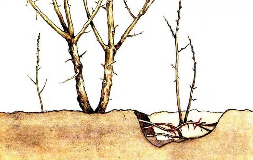 Обрезка фундука: как приручить дикий орех и добиться от него максимальной урожайности?