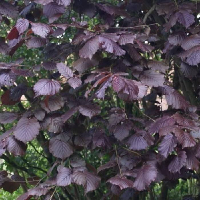Как цветет фундук (лещина), биологические особенности