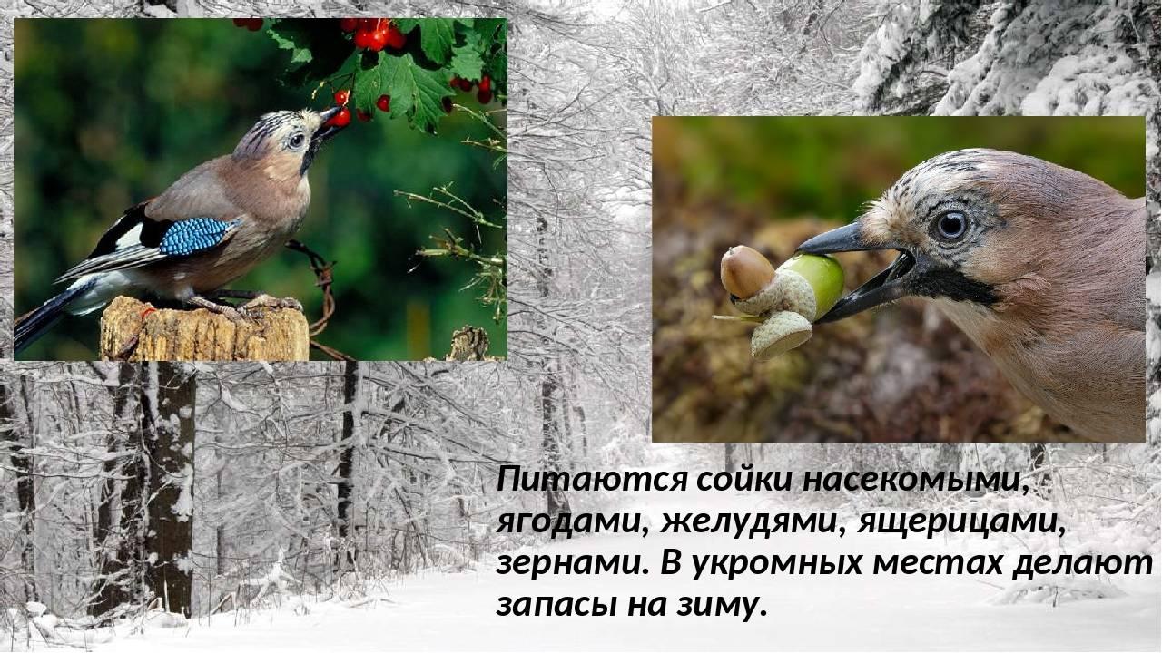 Урок по окружающему миру «питание диких животных» (1 класс)