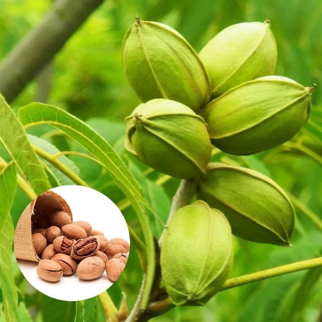 Откуда берутся фисташки, где они растут и как добывают эти орехи?