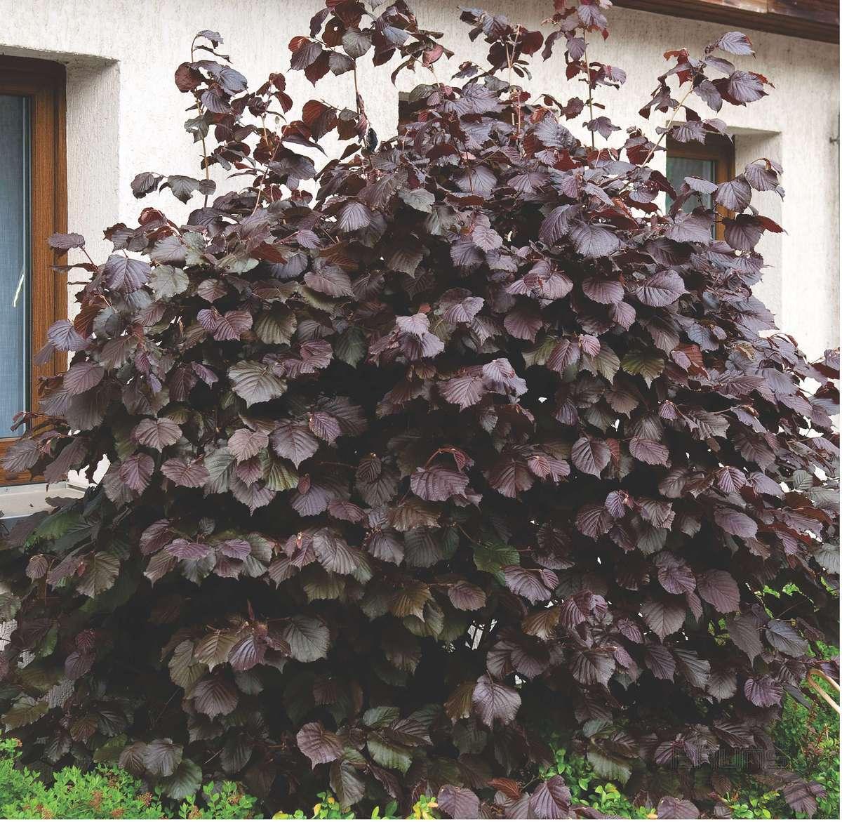 Дерево орешник / лещина: фото, виды, выращивание, посадка и уход
