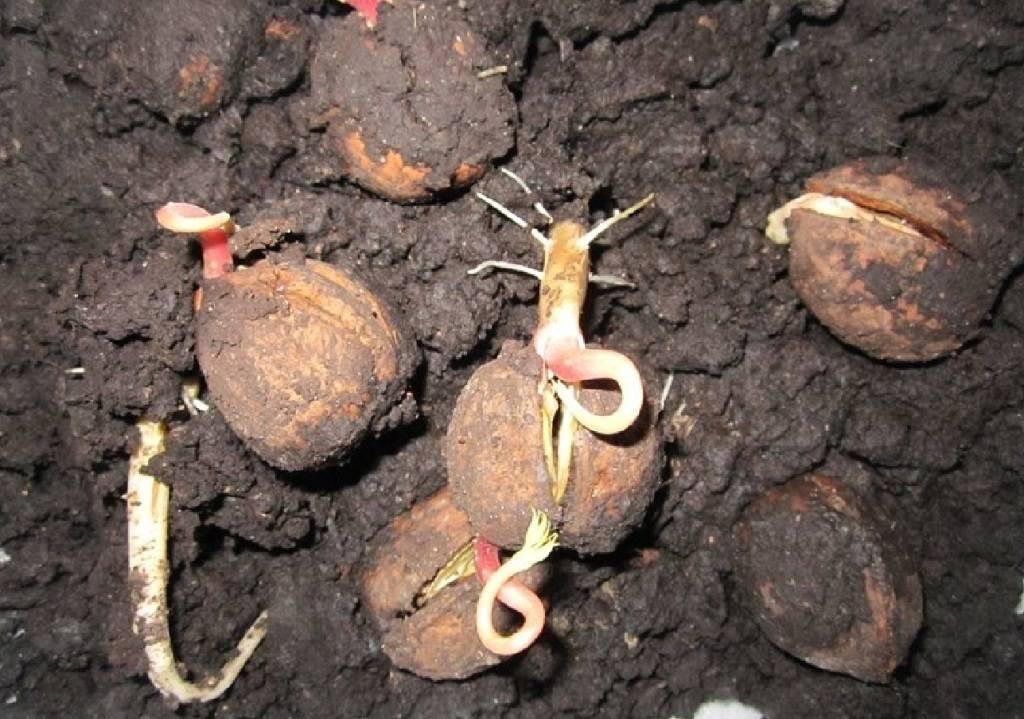 Польза и вред пророщенных грецких орехов. как прорастить самостоятельно и применять?