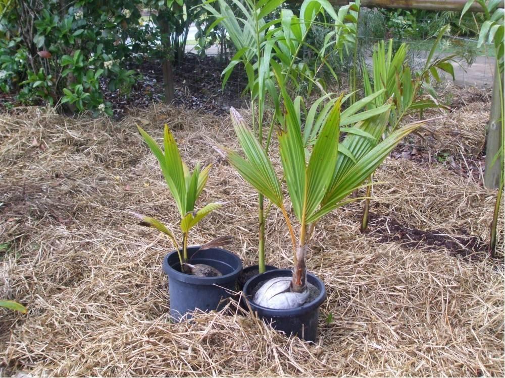 Питахайя: уход и выращивание в домашних условиях