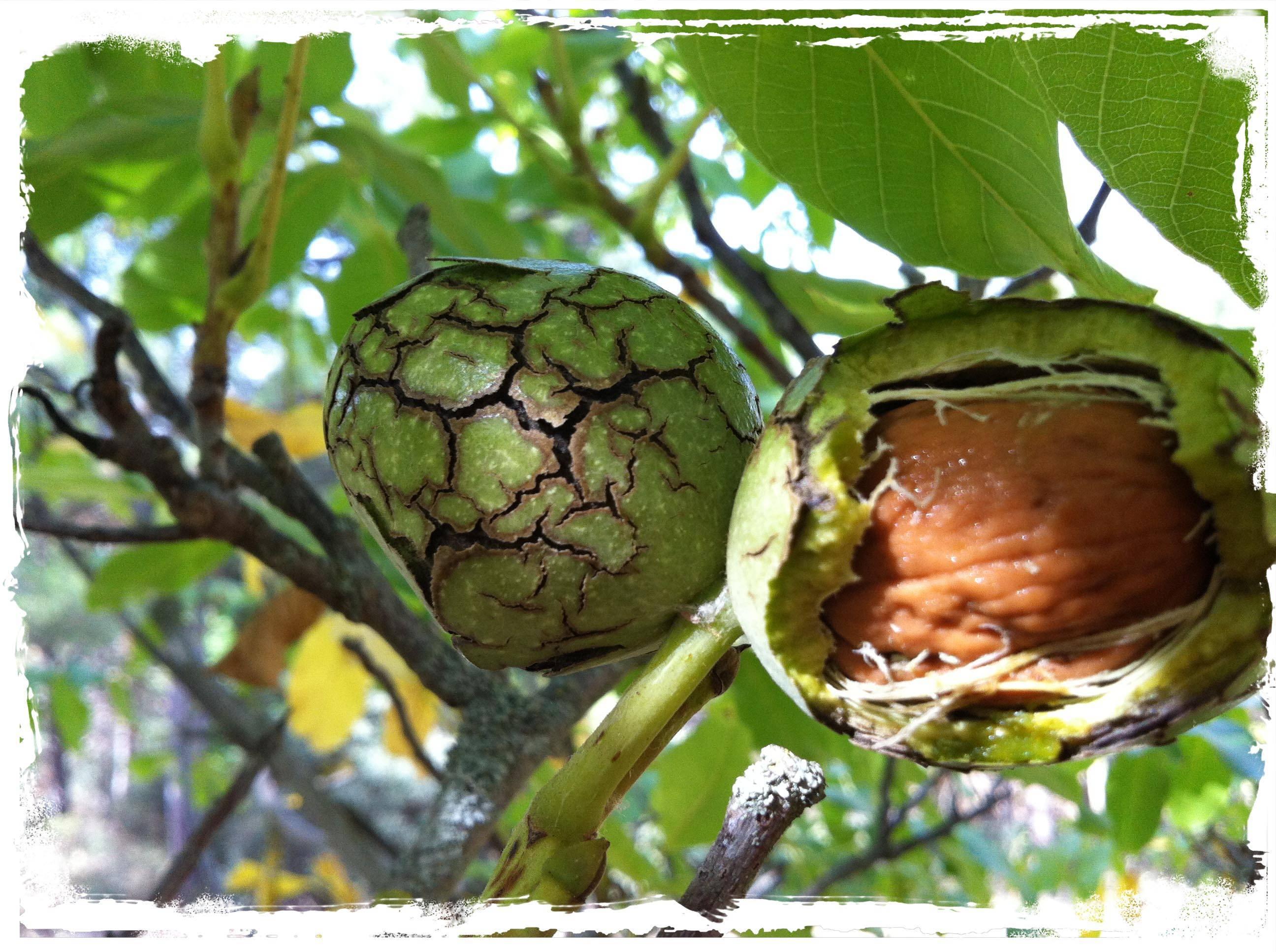 Когда собирать грецкие орехи? когда можно собирать грецкие орехи зеленые - мы дачники