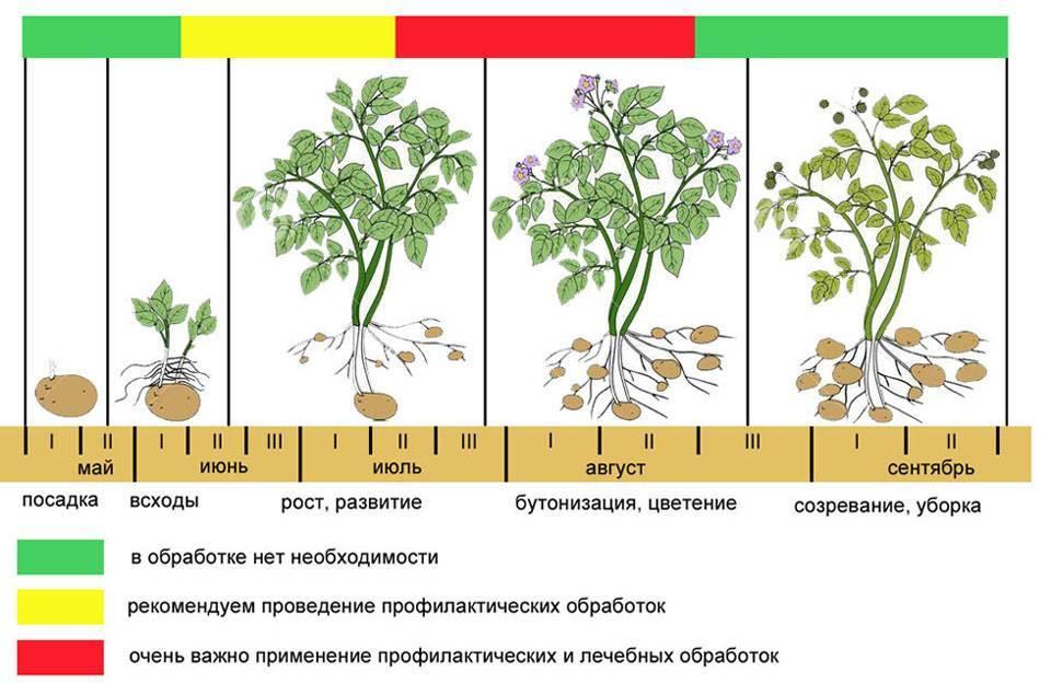 Фундук - лещина - деревья и кустарники | дом, сад и огород