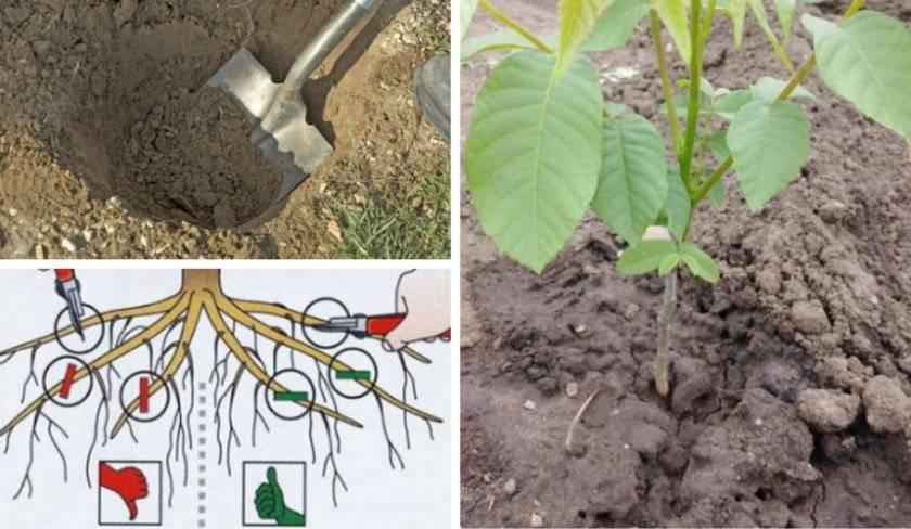 Посадка грецкого ореха весной: плюсы и минусы проведения процедуры в это время года, и какой способ выбрать, как сажать, когда ждать первый урожай?