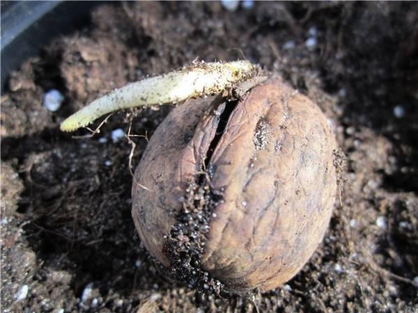 Посадка ядер грецкого ореха осенью в грунт