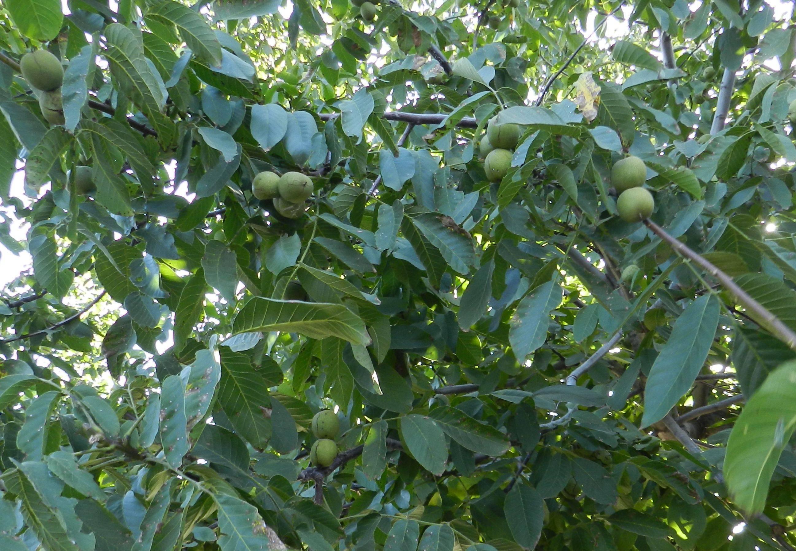 Вредители грецкого ореха: система защиты