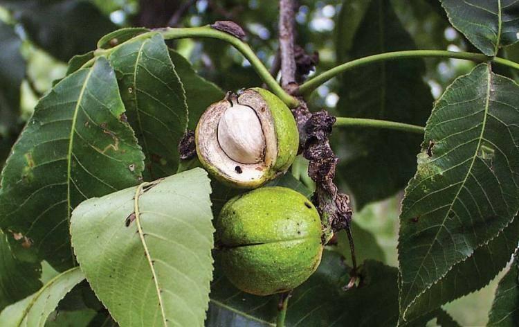 Церцис: посадка и уход в открытом грунте, выращивание из семян, виды