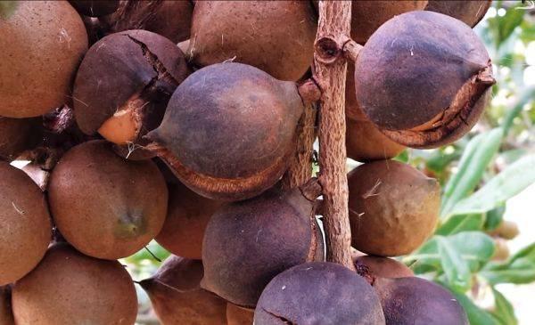 Орех макадамия: польза и вред для организма, состав, где растет
