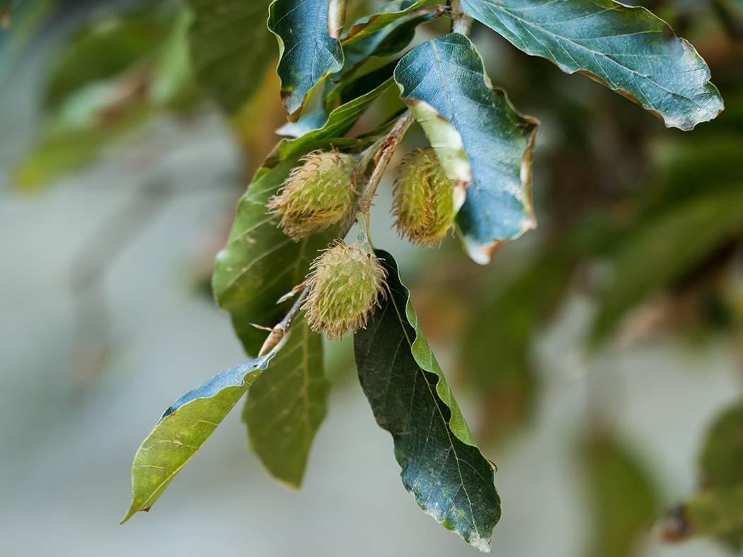 Земляной орех чуфа: полезные свойства и противопоказания