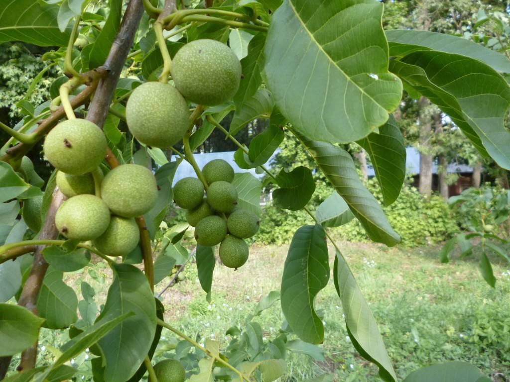 Как цветет грецкий орех и как влияет его цветение на урожайность?