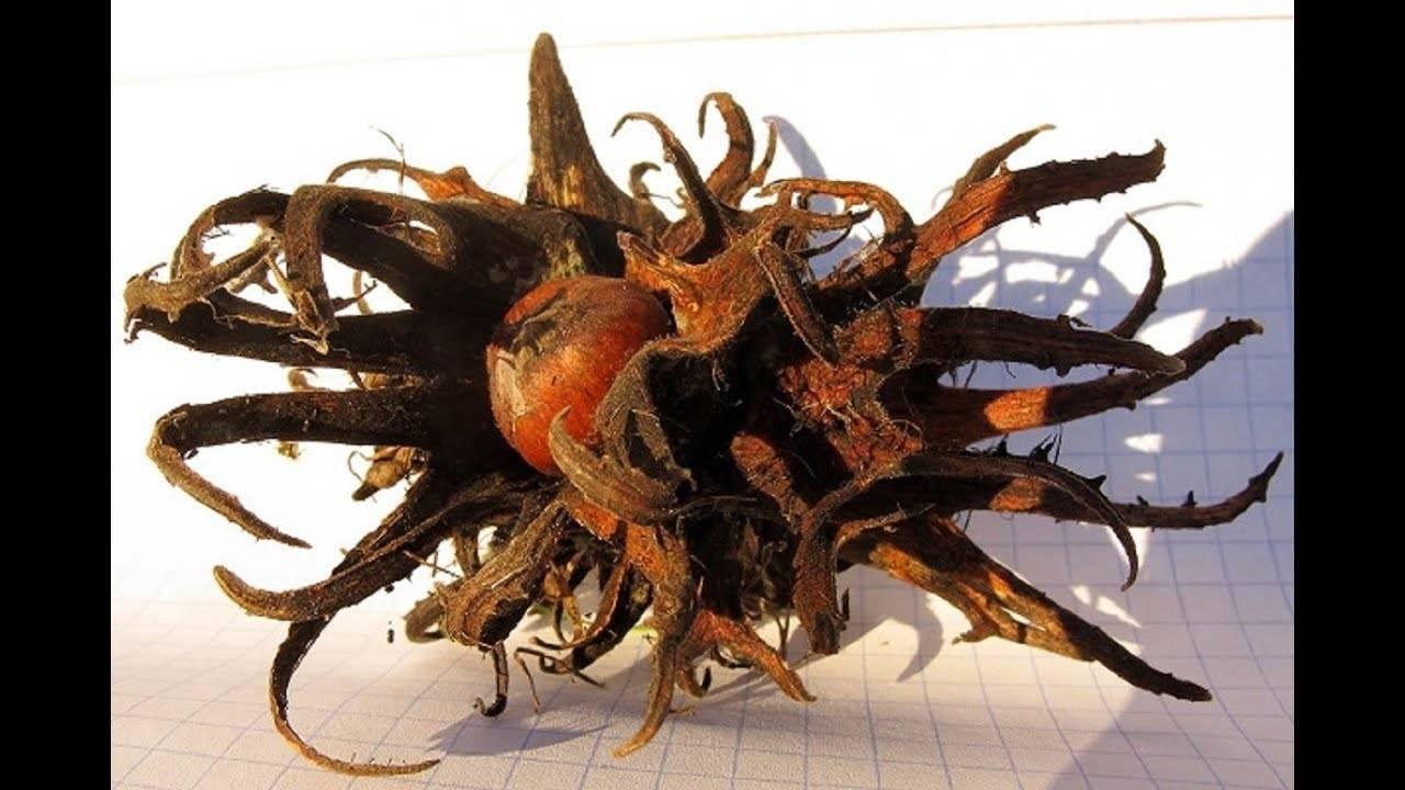 Лещина древовидная, или медвежий орех / древесные породы мира