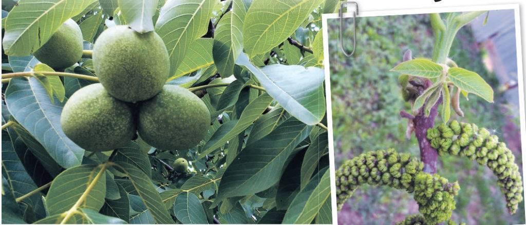 Как и когда собирать грецкий орех? полезные свойства. выращивание в крыму и на юге украины. рецепты варенья