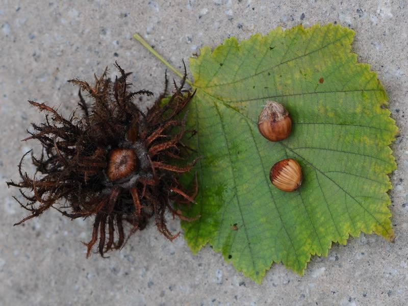 Все о лещине обыкновенной: как выглядит, посадка и уход за растением