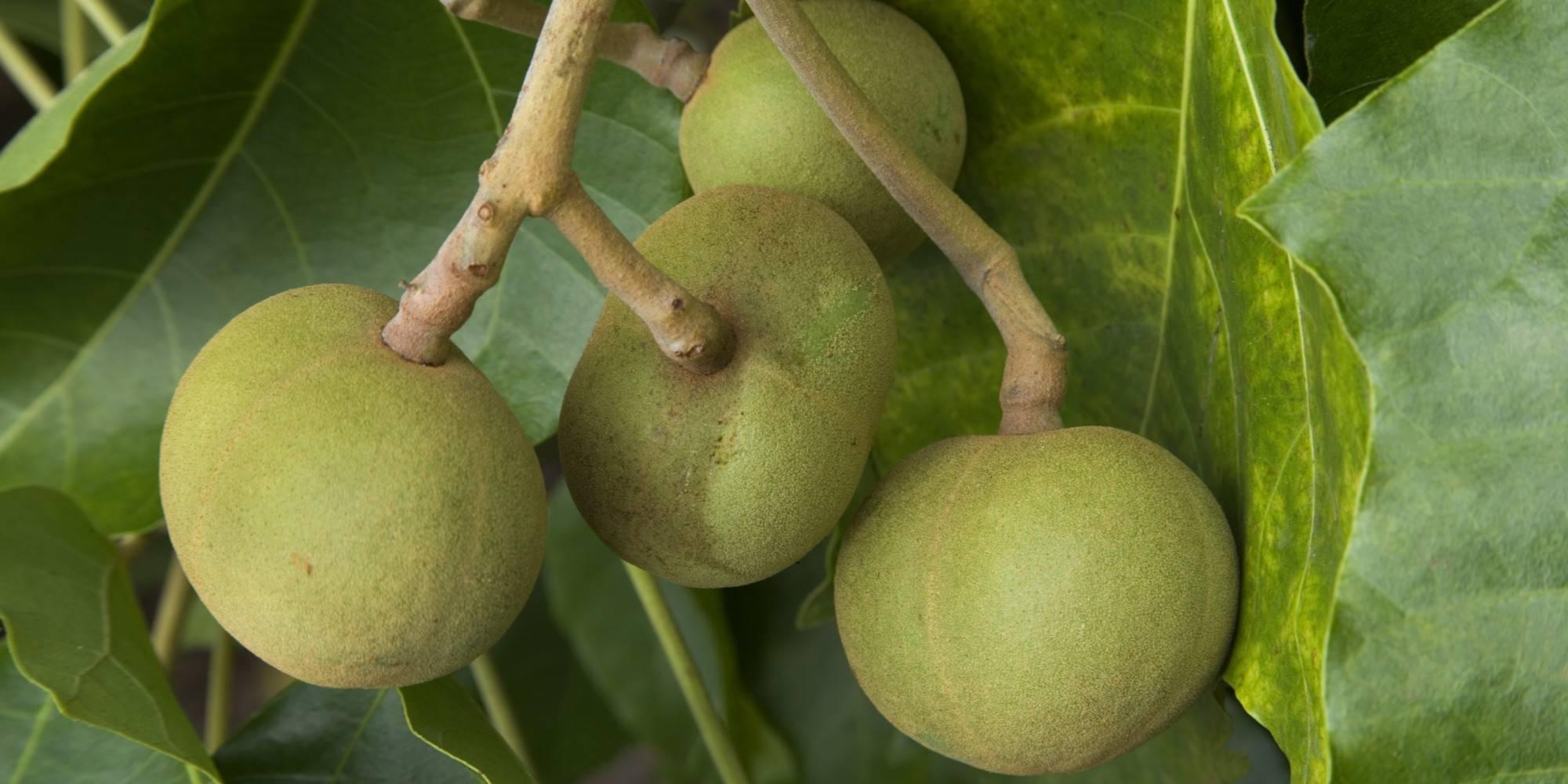 Орех кукуи: состав, свойства, польза, вред, применение, масло кукуи