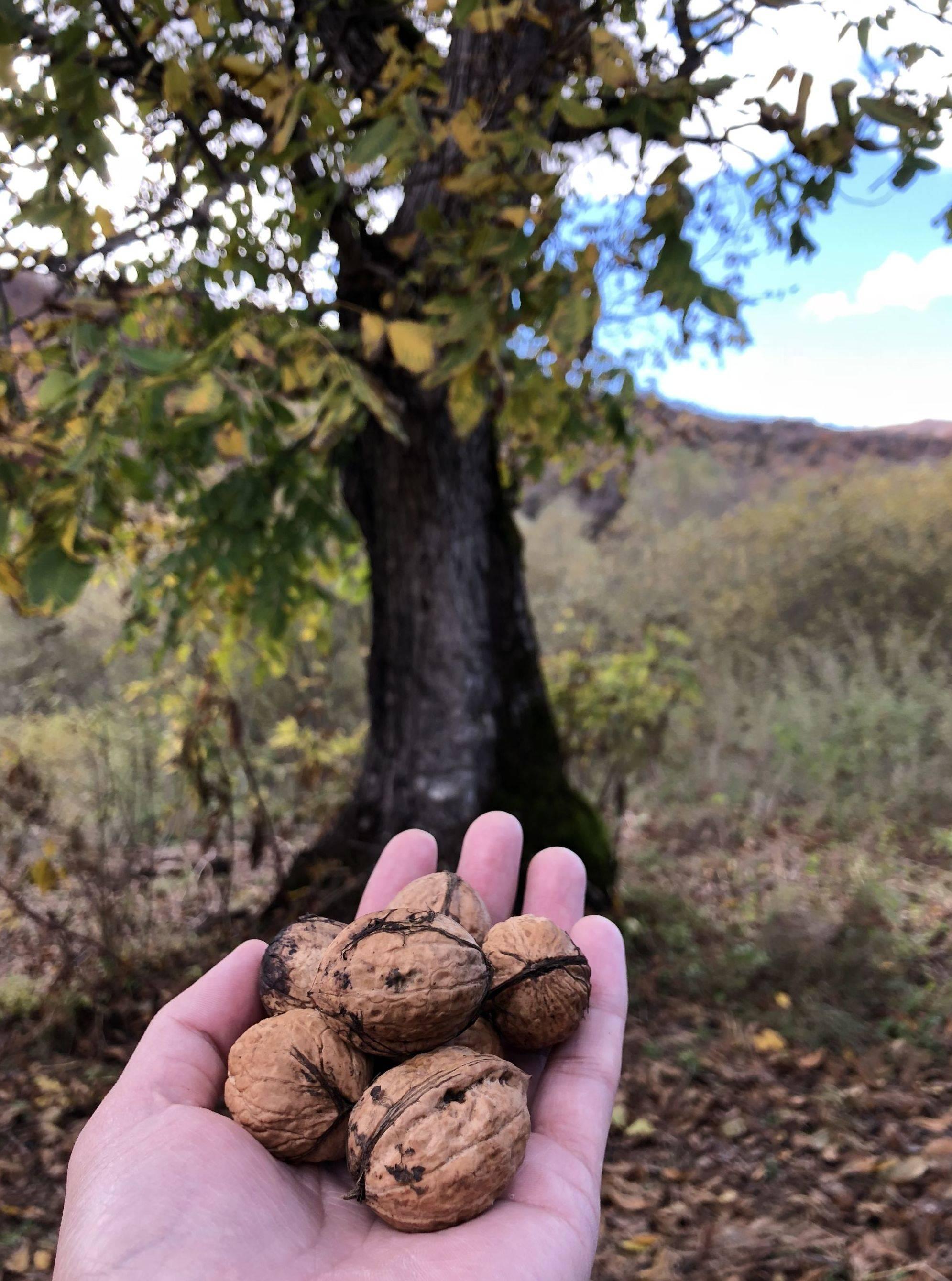 Как правильно посадить и вырастить грецкий орех из ореха в домашних условиях: сорта для подмосковья, подготовка к посеву, посадка и дальнейший уход