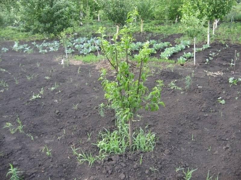 Как посадить грецкий орех правильно на дачном участке и огороде: как выбрать сорт, когда высаживать дерево, в какое время лучше — осенью или весной, и нужная глубина