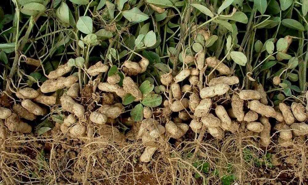 Можно ли вырастить арахис в домашних условиях и как это сделать на даче в открытом грунте?