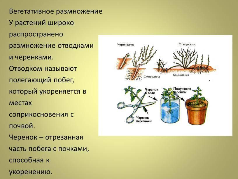 Занятие 5 вегетативное размножение цветочно-декоративных и древесно-кустарниковых растений | авторская платформа pandia.ru